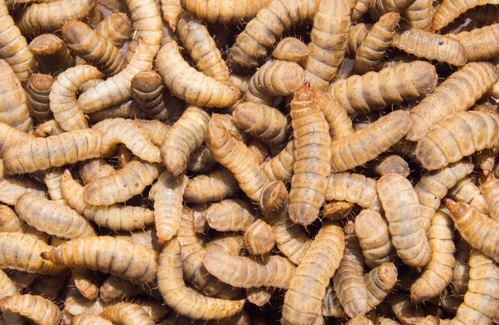 Корм из насекомых
